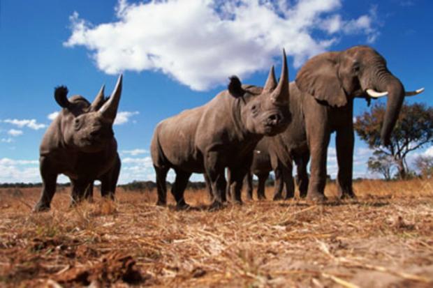 Black Rhinoceros (Diceros Bicornis) and African Elephant (Loxodonta Africana) Africa. Photo Credit; WWF